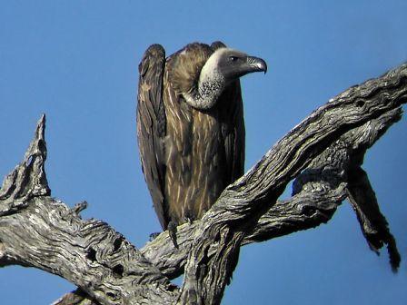 vulturey