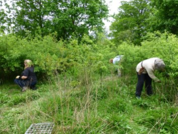 Volunteers clearing Blackthorn