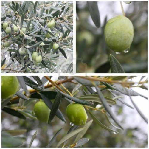 10877695-collage-of-green-olives-on-olive-tree