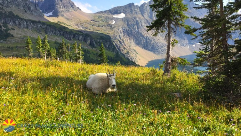 Mountain goat along the Hidden Lake trail, our favorite among the best hikes in Glacier National Park with kids