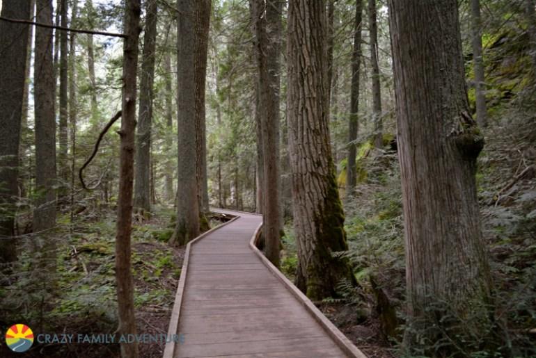 The boardwalk path cutting through the gigantic cedars