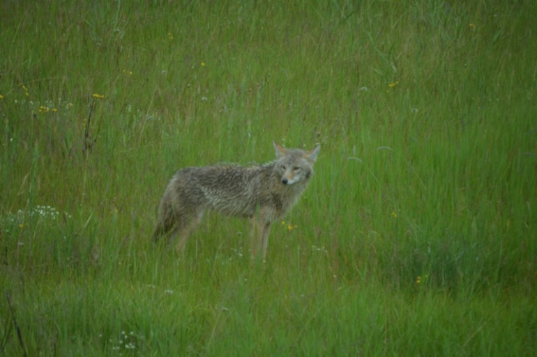 We saw a coyote on our Wildlife Tour in Jasper National Park