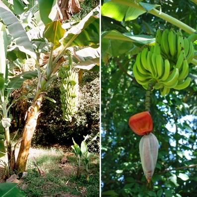 """Nie, banany nie rosną na palmach. To roślina zielna, niewiele ma wspólnego z drzewem. Ich kwiaty zapylane są przez ptaki lub nietoperze. Fot. Przemyslaw """"Blueshade"""" Idzkiewicz, joeshlabotnik"""