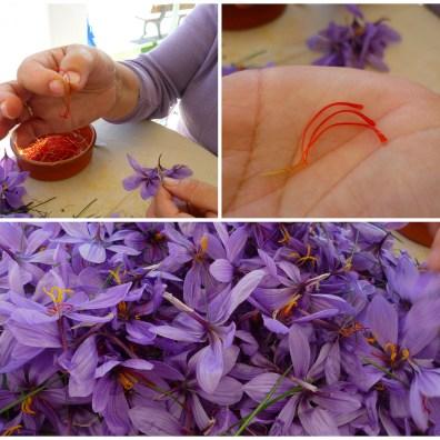 Szafran to wysuszone znamiona kwiatów. By uzyskać 1 kg tej przyprawy trzeba zebrać 150 000 kwiatów. Fot. SuBurning