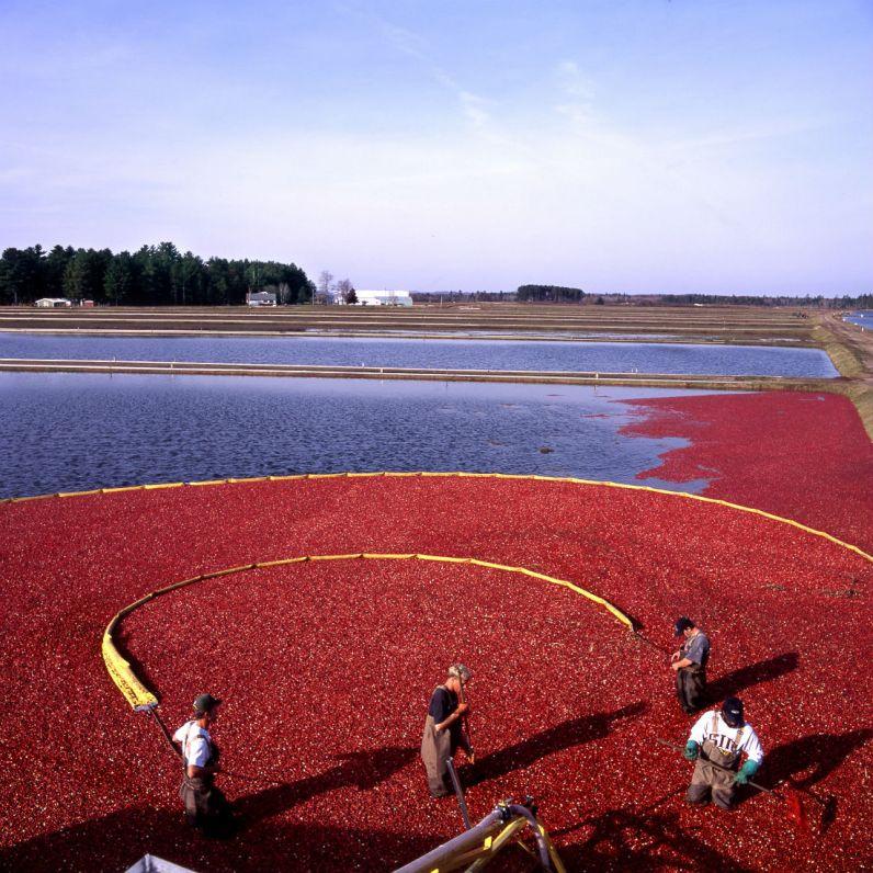 Mokry zbiór żurawiny. Fot. Cranberry Marketing Committee