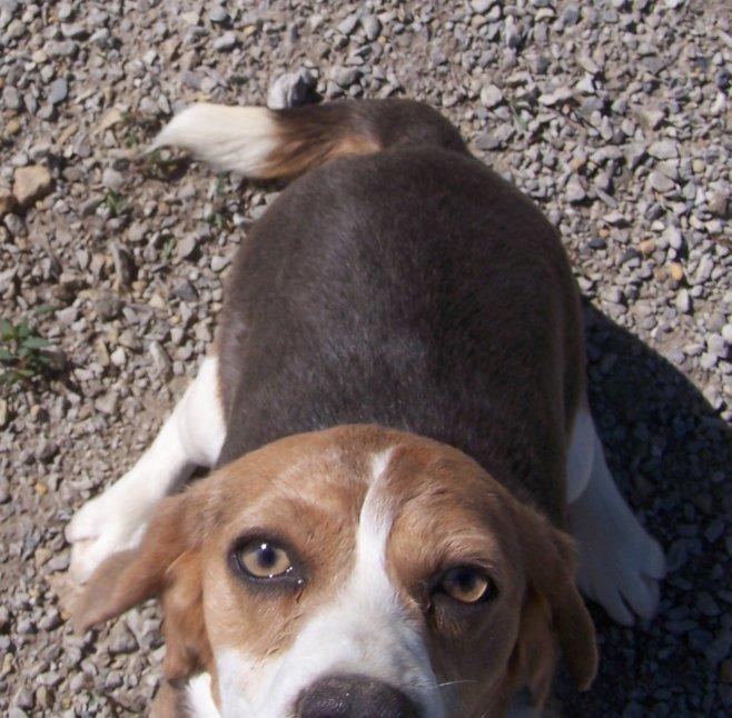 Blue Tri Beagle Silver Tri Beagle