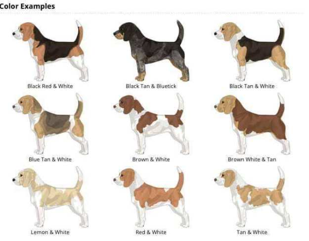 Image result for beagle coloring variations