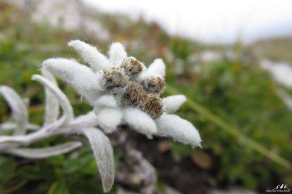 Edelweiss 2