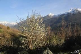 Cerisier paysage