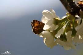Papillon et cerisier