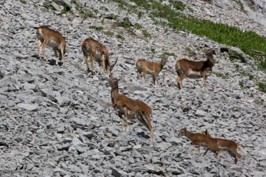 Mouflons 1
