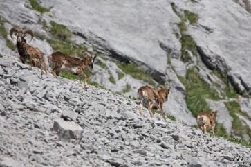 Mouflons 6