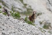 Mouflons 9