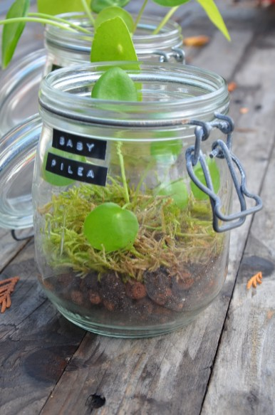 Baby Pilea 2 - copie