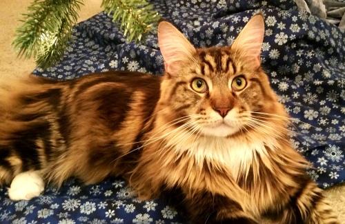 Magellan Under The Christmas Tree - Majestic
