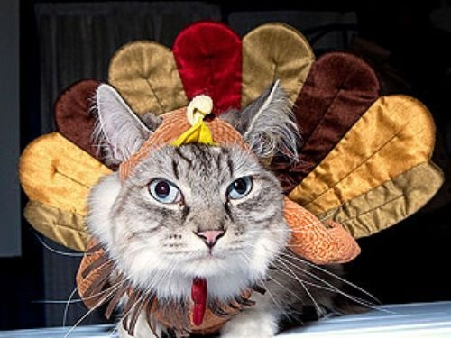 Thanksgiving Cat 1