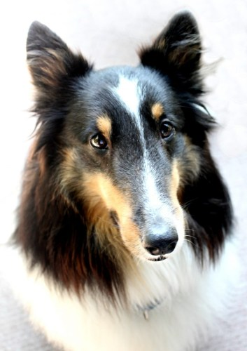 Pax The Sheltie