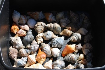Clean Your Seashells