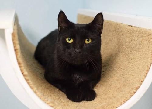 Thackery - Animal Shelter Volunteer Cat