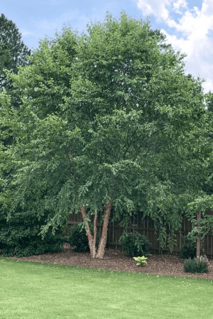 Privacy Trees - River Birch