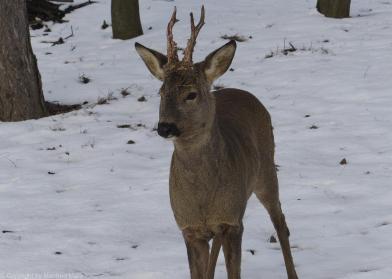 Rehbock im Winter