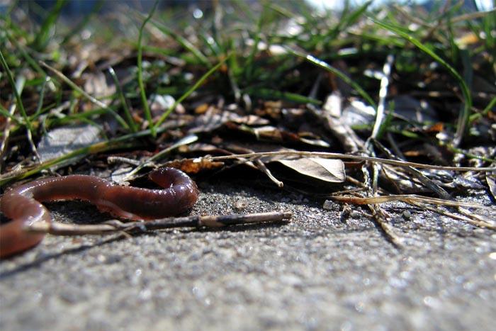 earthworm wikimedia