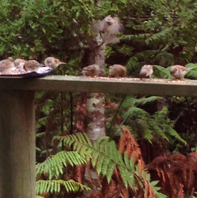 Sparrows in my garden_musjes in mijn tuin