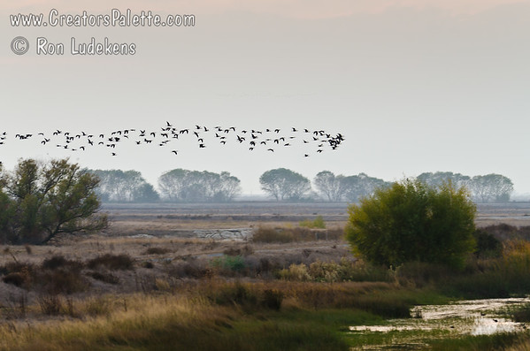 Arrival of Sandhill Cranes