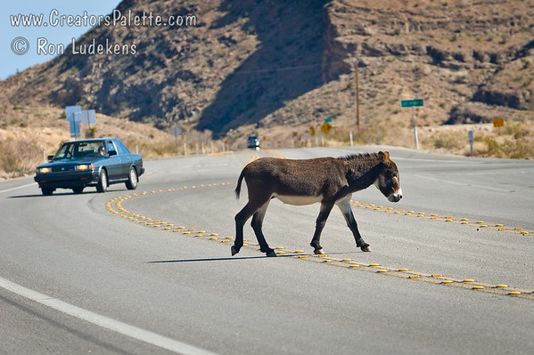 Wild Burro Crossing Highway