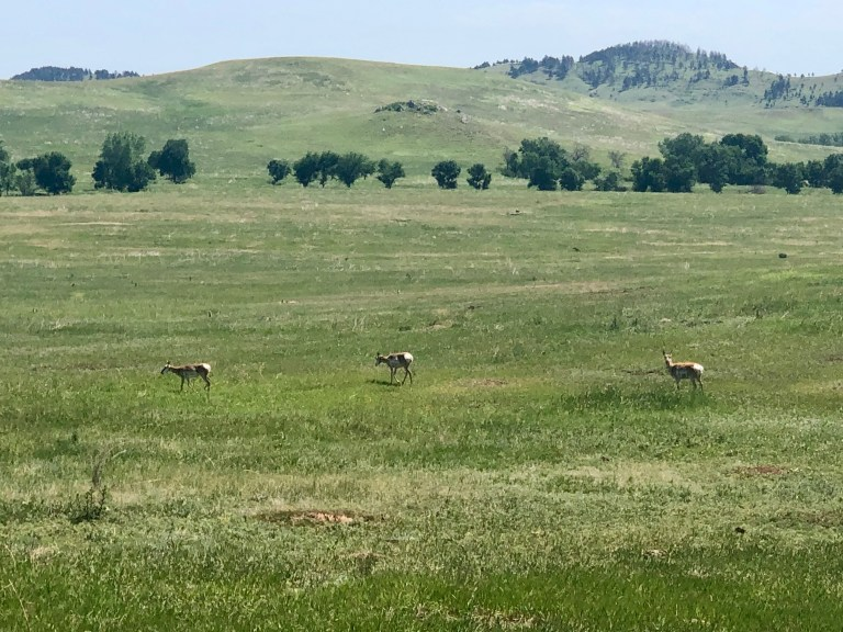 Pronghorns in Custer State Park