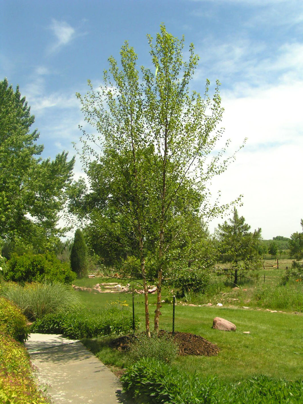 About River Birch Trees