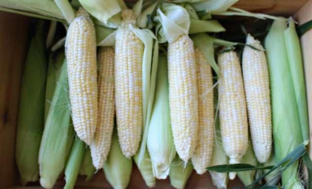 Calico sweet corn