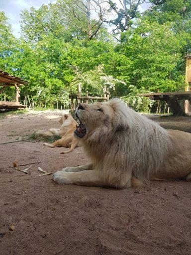 Lion blanc au zoo d'Amnéville