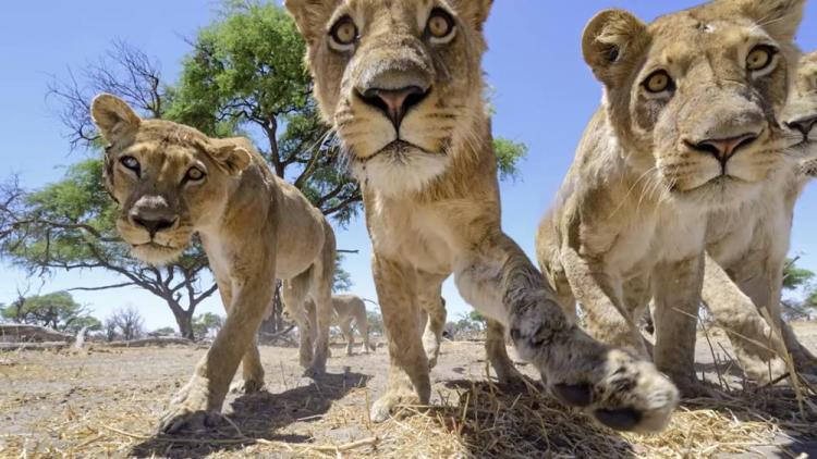 chris-mclennan-lions-1