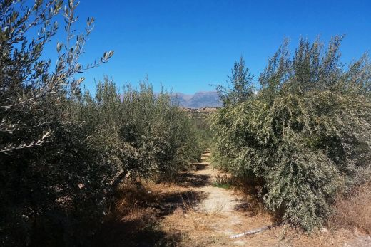 Building plot in Kamilari with olive groves
