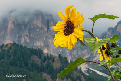 P1-2016_N_A-Dolomitian-Sunflower_Ralph-Browes