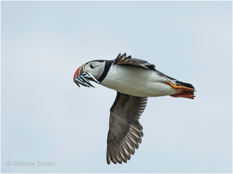 Wallace Baxter – 1_Flying Puffin_N_29-2