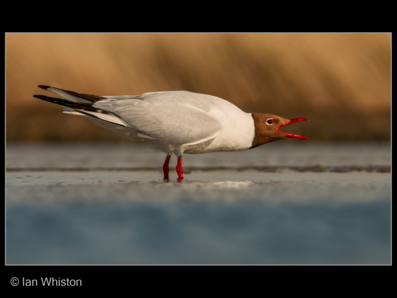 Ian Whiston – 2_Gull Forward Posture Display_N26-2