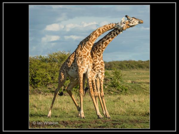 Ian Whiston – 1_Necking Giraffes_N26-2