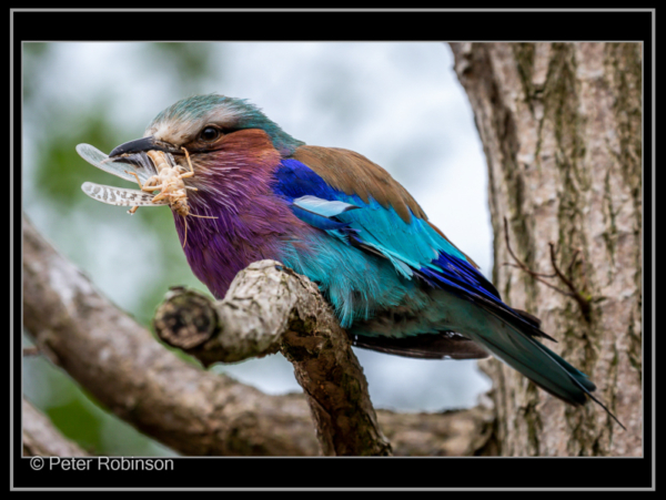 Peter Robinson – 5_Lilac Breasted Roller_N_19-2