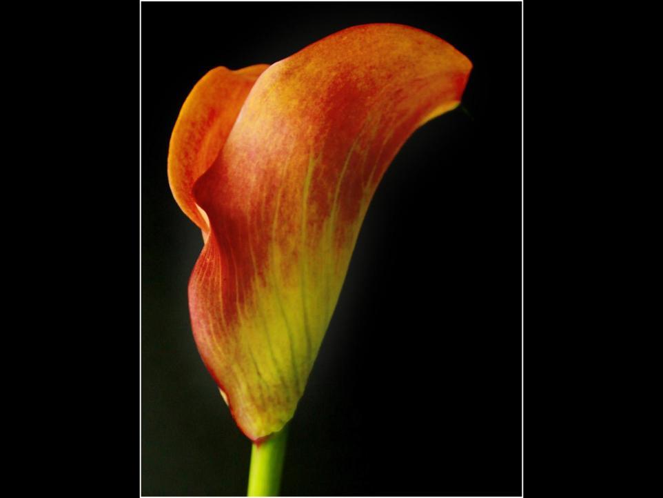 mango lily