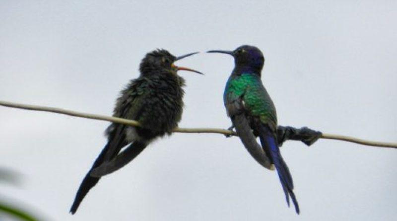 Dicas para Alimentar Filhotes de Beija-Flor