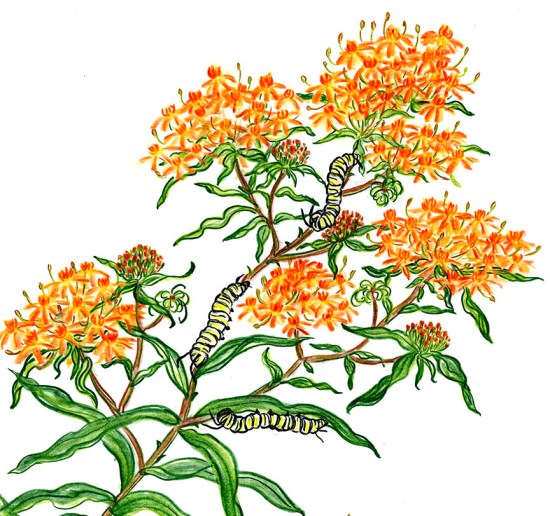 Monarch Caterpillars on Butterfly Weed