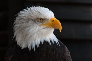 bald-eagles-341898_640