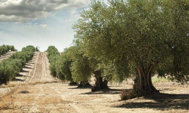 El aceite de oliva español en camino de la uberización con Olivacoin