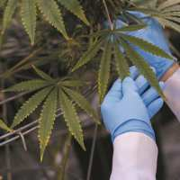 æternity lanza la primera solución mundial de trazabilidad de cannabis medicinal sobre blockchain