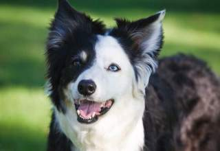 border collie barking problem
