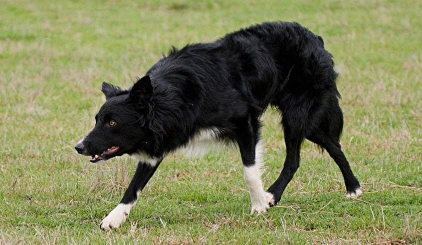border collie growling