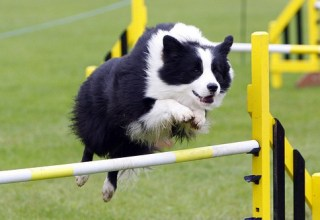 border collie training course