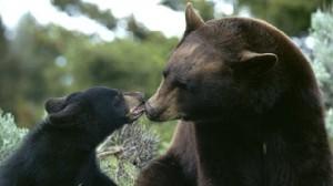 ursi bruni Romania
